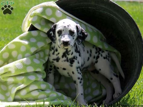 dalmatian puppies for sale nc best 25 dalmatians for sale ideas on classifieds appaloosa horses
