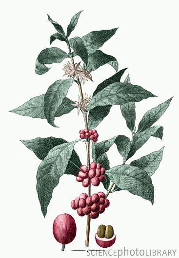Botanic Vs Botanical Botanical Illustration Of The Coffee Plant Coffee Arabica