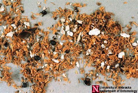 carpenter ants department  entomology