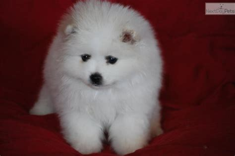 american eskimo puppy price meet a american eskimo puppy for sale for 1 500 zoey orange