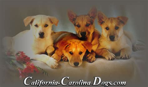 carolina puppies carolina puppies for sale in california california carolina dogs