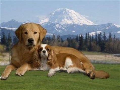 golden retriever breeders in washington state akc golden retriever breeders washington state dogs in our photo