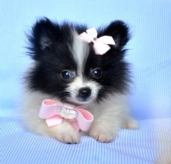 black and white pomeranian for sale tiny pomeranian puppy black white princess 18 oz at 8 weeks sold moving to palm