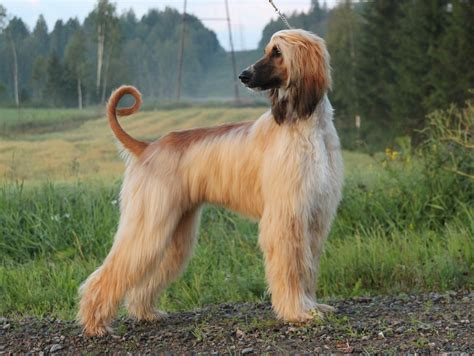 afghan breed afghan hound information and facts breeds breeds picture