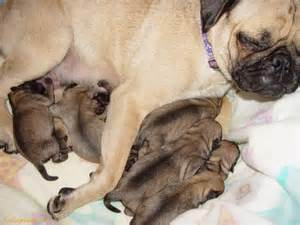 pug dogs 17 best images about puppies dogs on
