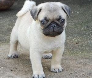 how much are teacup pugs xvon image free teacup pug puppies