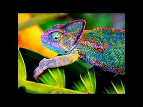 imagenes chidas que cambian de color como cambian de color los camaleones youtube