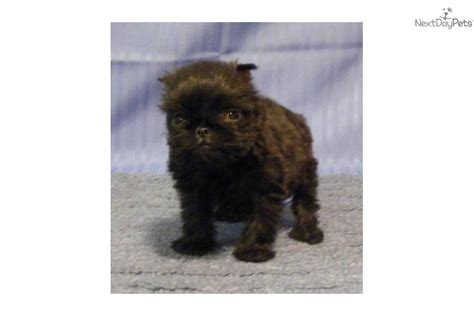 teacup brussels griffon puppies for sale teacup brussels griffon puppies breeds picture