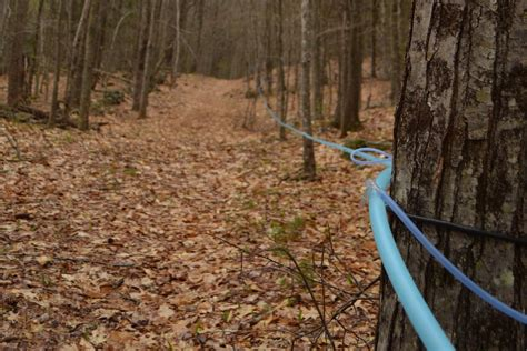 backyard maple sugaring how to know the perfect time to stop tapping your maple