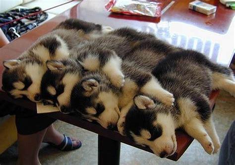 husky puppy sleeping husky puppies sleeping on a table teh