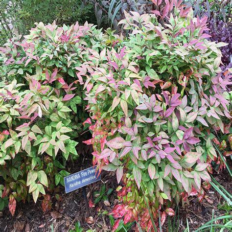 onlineplantcenter 3 gal firepower nandina shrub n5006g3