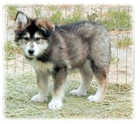 wolf puppies for sale in california 1000 images about wolf husky hybrid pups on wolf husky puppies for sale