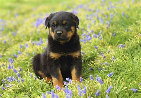 where to find rottweiler puppies rottweiler puppies for sale akc puppyfinder