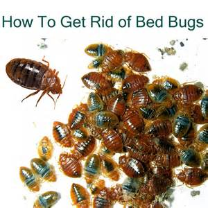 get rid bed bugs permanentlyjpg apps directories