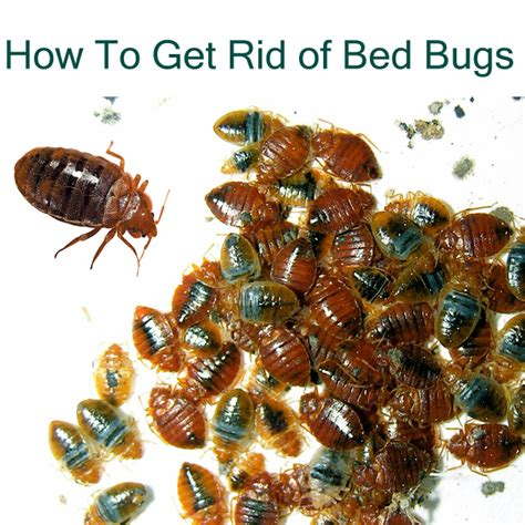 how to get rid of bed bugs yourself brown hairs