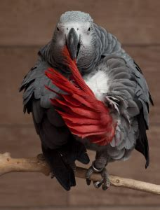 pappagallo cenerino alimentazione cenerino il mio pappagallo