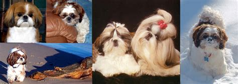 croaking toad shih tzu information about the shih tzu personality of the shih tzu puppies