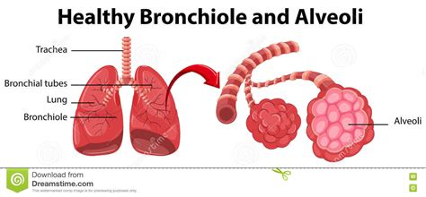diagram of bronchioles diagram showing healthy bronchiole and alveoli stock