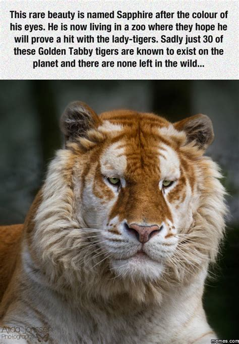 Tabby Meme - golden tabby tiger memes com
