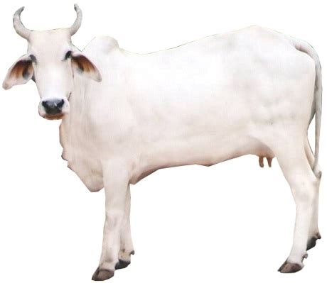 What Is Cowhide Mainly Used For by Gangatiri Cow Breed Information