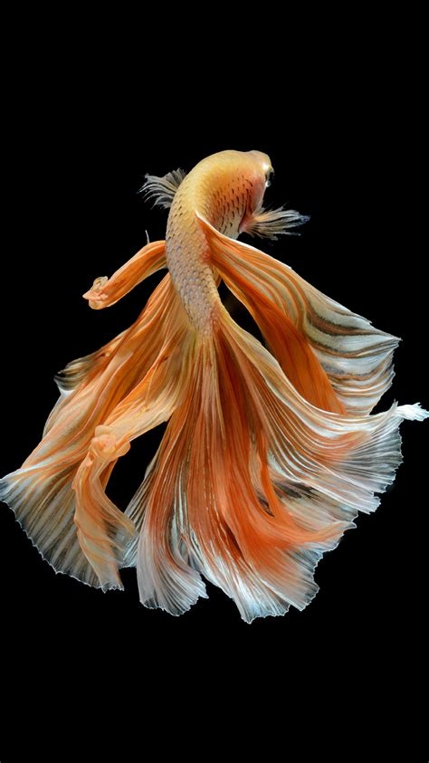 apple wallpaper betta fish apple iphone 6s wallpaper with elegant male gold betta
