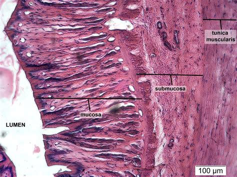stomach cross section digestive np histology