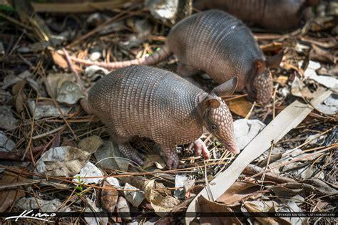 Baby armadillo foraging for food Florida wildlife
