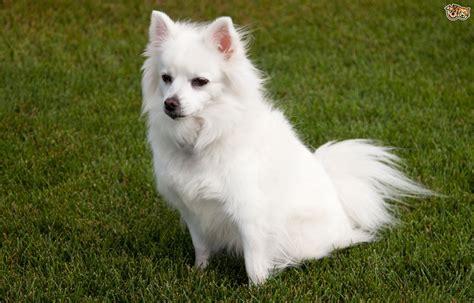 eskimo dogs more about the american eskimo pets4homes