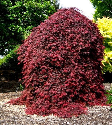 maple tree value 25 best ideas about acer palmatum on japanese maple garden maple tree and