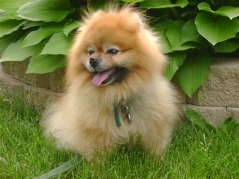 names for pomeranians pomeranian names we the top pomeranian names for breeds picture