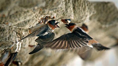 swallows at san juan capistrano were driven away by