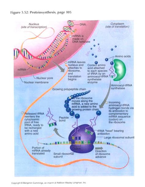 protein synthesis diagram learn for knowledge transcription translation and