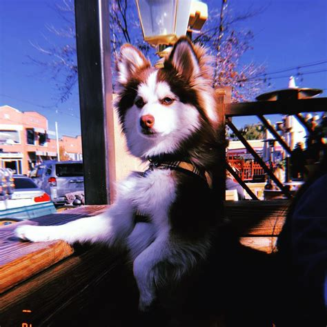 how much does a pomeranian puppy cost uk pomsky price how much are pomsky puppies pomeranian husky