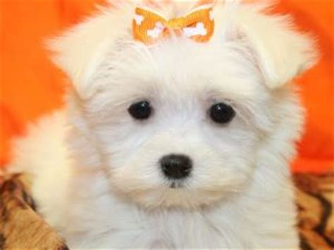 maltese puppies for sale in florida 500 maltese puppies for sale