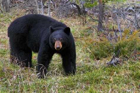 big black bear big papa letsbewild com
