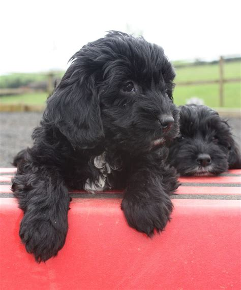 spoodle puppies stunning minature spoodle puppies abergavenny monmouthshire pets4homes