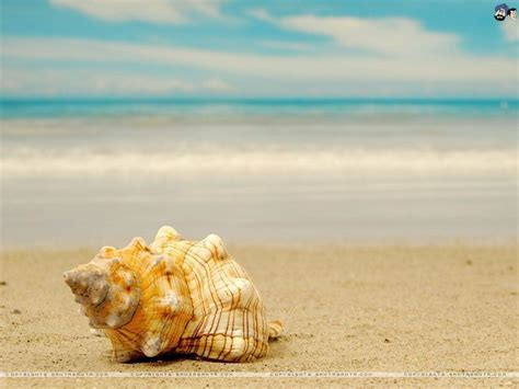 shell wallpaper seashell wallpapers wallpaper cave