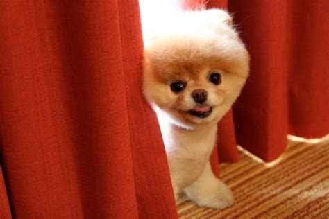 pomeranian puppy boo meet boo the cutest pomeranian damn cool pictures