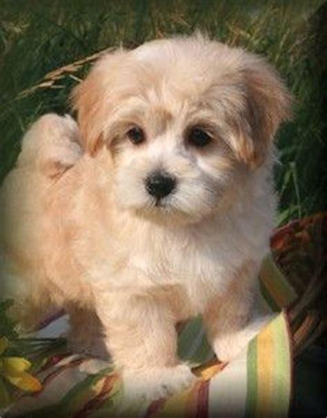 maltipoo puppies for sale in michigan maltipoo puppies for sale in michigan baby animals maltipoo