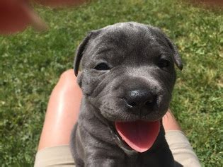 puppies for sale flint mi view ad american pit bull terrier puppy for sale michigan flint