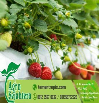 Jual Bibit Tanaman Strawberry jual bibit strawberry
