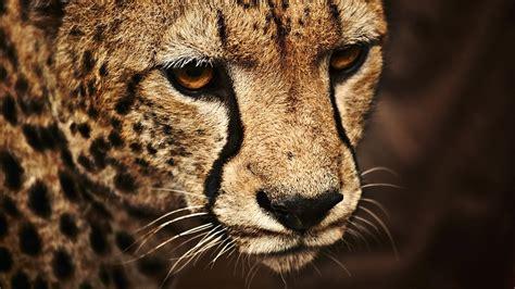 wallpaper cheetah  cute animals animals