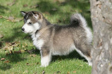 alaskan malamute puppies rescue alaskan malamute puppies for sale for sale adoption from county durham