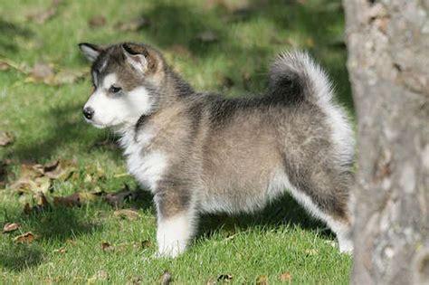 alaskan malamute puppies for adoption alaskan malamute puppies for sale for sale adoption from county durham