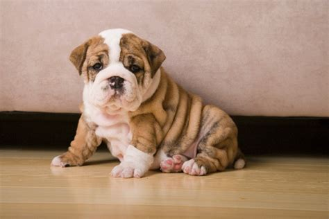 how much are bulldog puppies 20 the most expensive breeds in the world