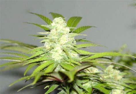 fiore di canapa pianta dalla quale si ricavano diverse sostanze