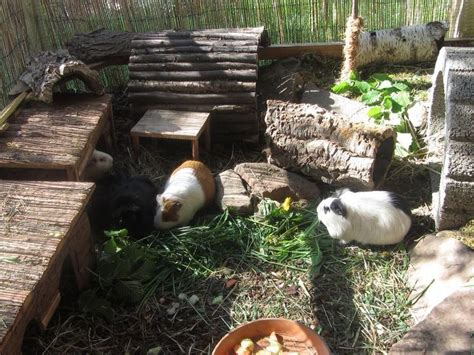 meerschweinchen aussengehege guinea pig  enclosure