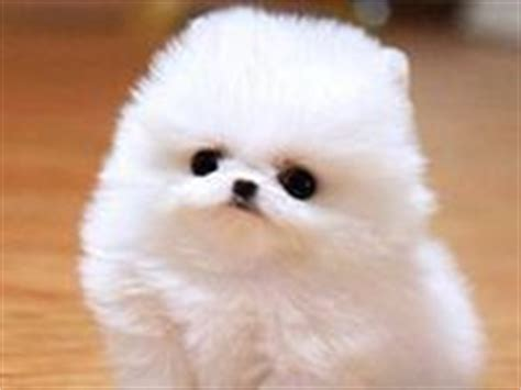 pomeranian puffball 17 best images about pom puffball on wool and puppys