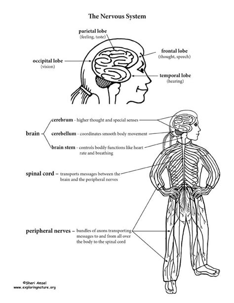 nervous system  kids worksheets breadandhearth
