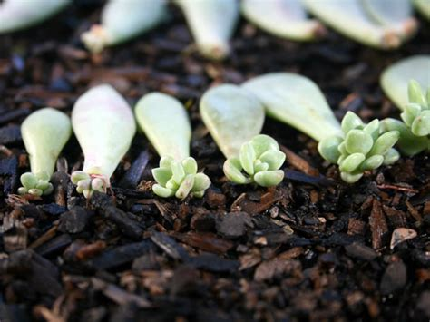 Propagating Succulents Succulents And Plants On - how to propagate succulents in 4 simple steps world of